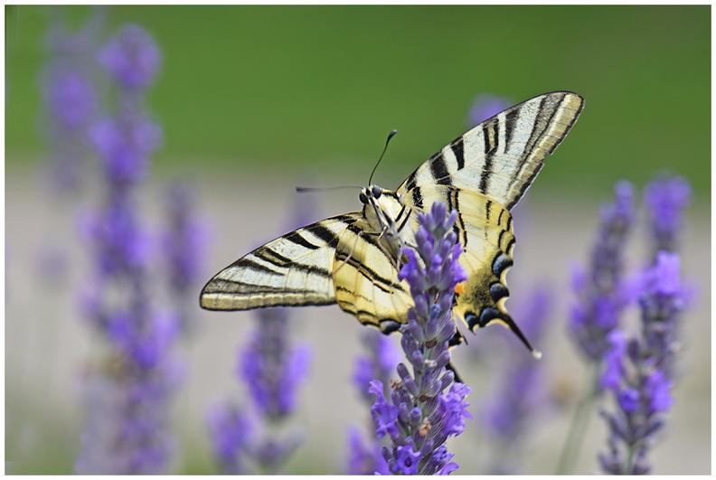 Machaon..JPG